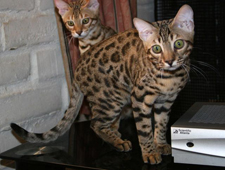 Bengal Kitten Art from Bear's litter