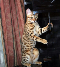 Bengal Kitten Briar Rose from Rory Litter