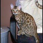 Bengal Kitten Ligth Boy from Rory's litter