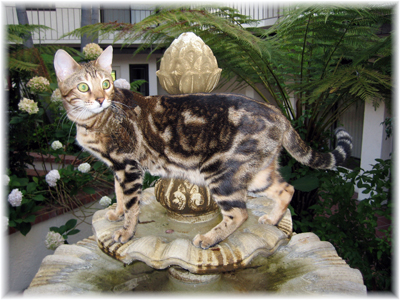 Bengal cat next to a fountain